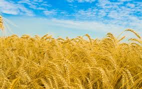 allergy test wheat